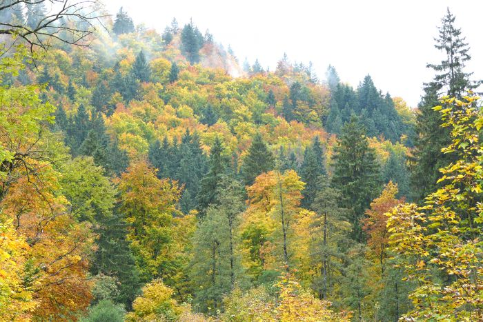 Forest with conifers and deciduous trees