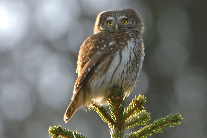 Smallest owl in Europe