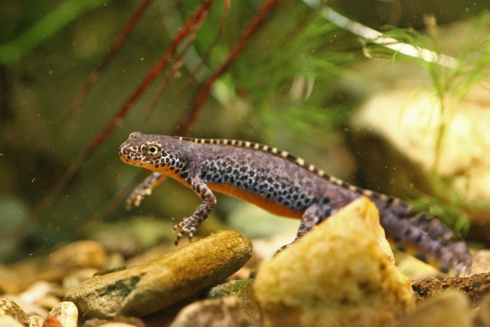 Male alpine newt in water phase