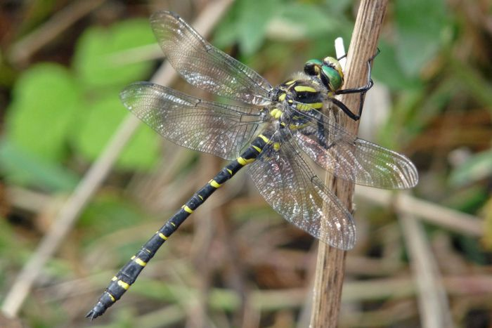 A very large striking dragonfly with black and yellow stripes