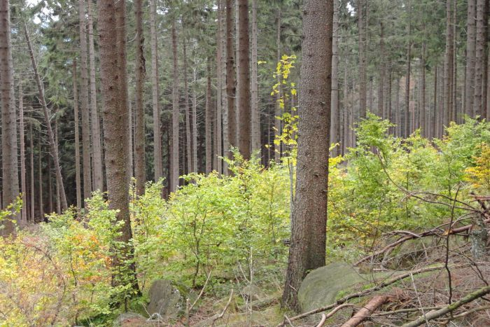 Young beeches under spruce