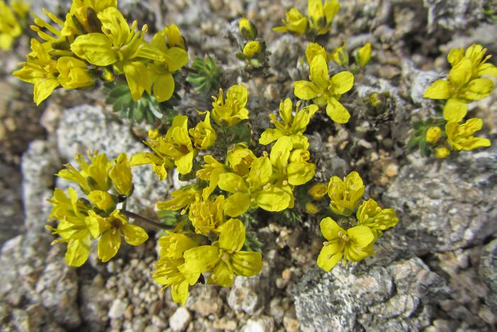 A yellow-blossomed plant