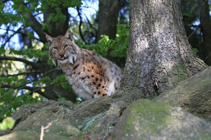 Lynx sitting on a rock