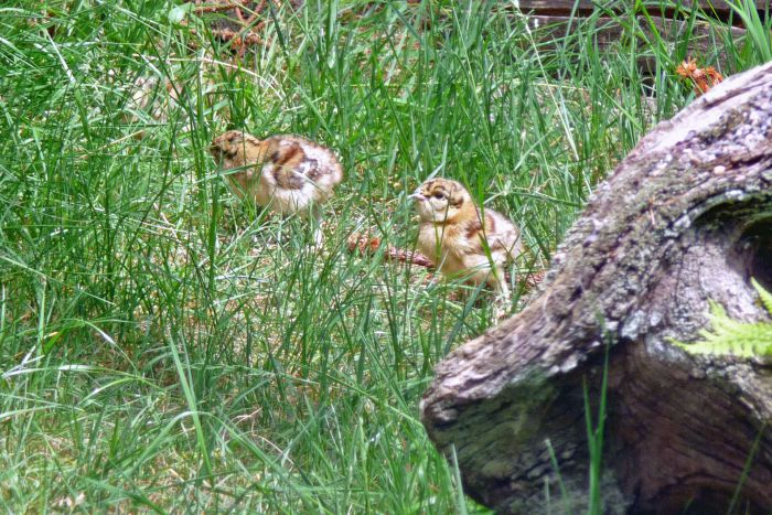 Young chickens in a meadow
